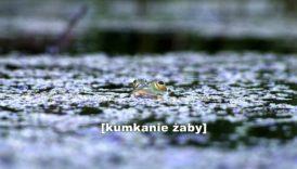 żaba w stawie. Napis kumkanie żaby